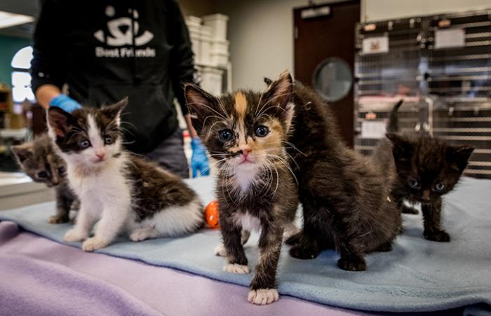 Calico kitten looking at the camera, surrounded by littermates with cat kennels and a person wearing a Best Friends sweatshirt