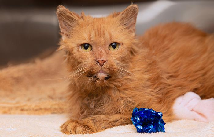 Peaches a senior orange tabby cat with a blue mylar toy ball in front of her