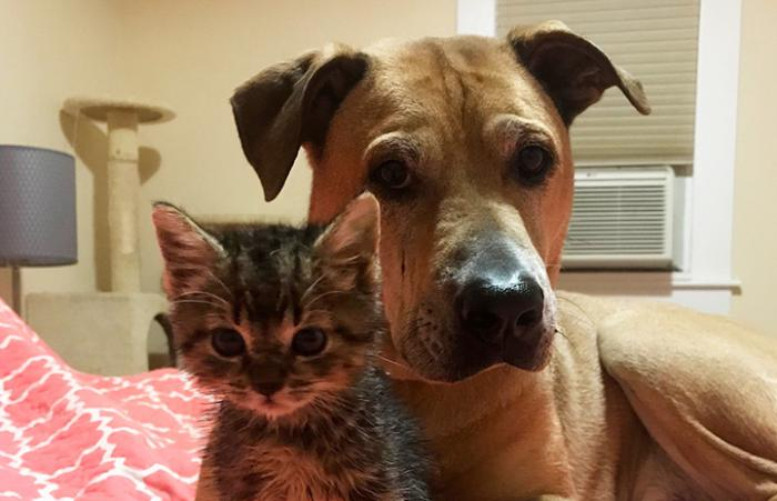 Brown pit bull terrier type dog lying next to a tabby kitten