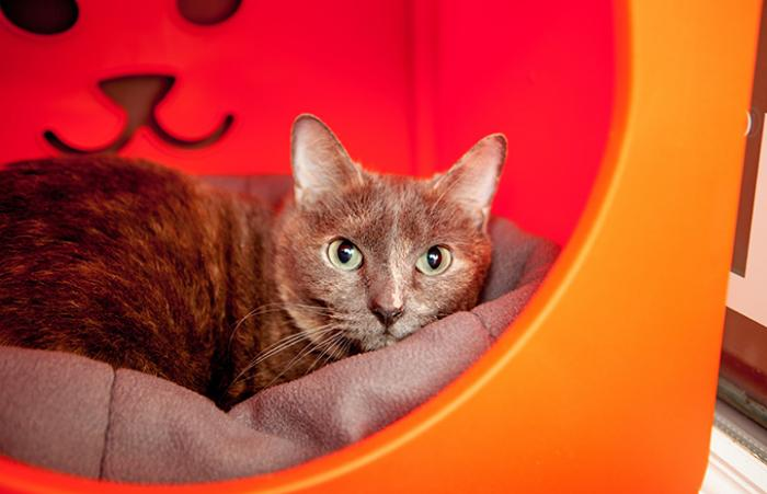 Cheyenne the dilute calico cat in an orange plastic cat bed