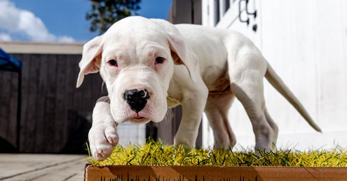 White puppy standing in a little patch of grass on a patio