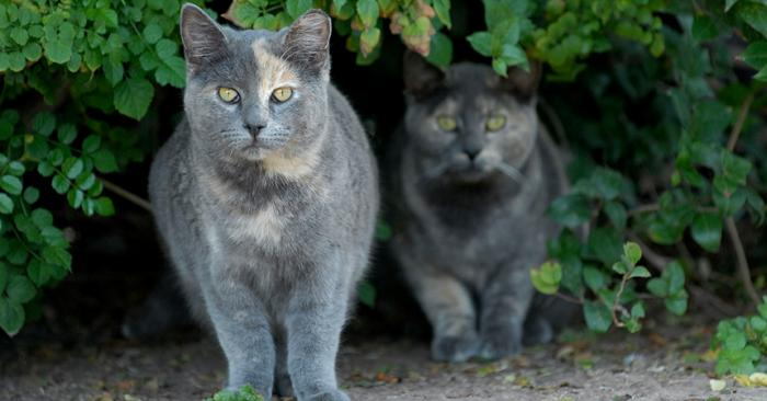 Two dilute calico community cats hiding in some bushes