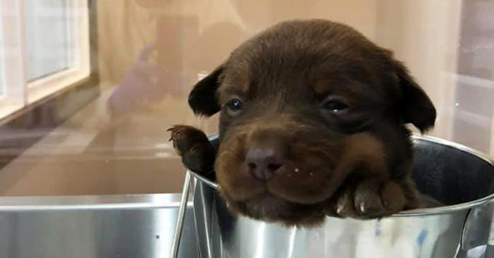 Brown puppy in a stainless steel bucket