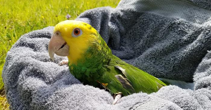 Buttercup the yellow-headed Amazon parrot in a towel outside in the grass