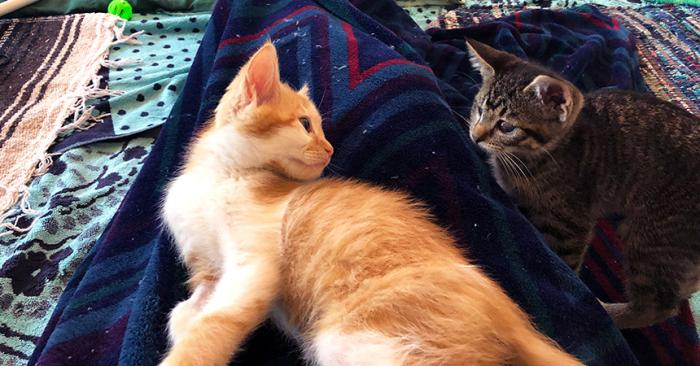 Picasso and Unstoppable the kittens lying next to each other on a blanket