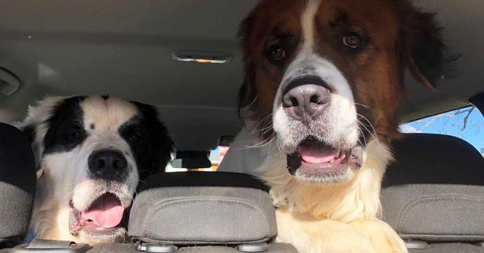 Two large St. Bernard type dogs sitting in the back seat of a car