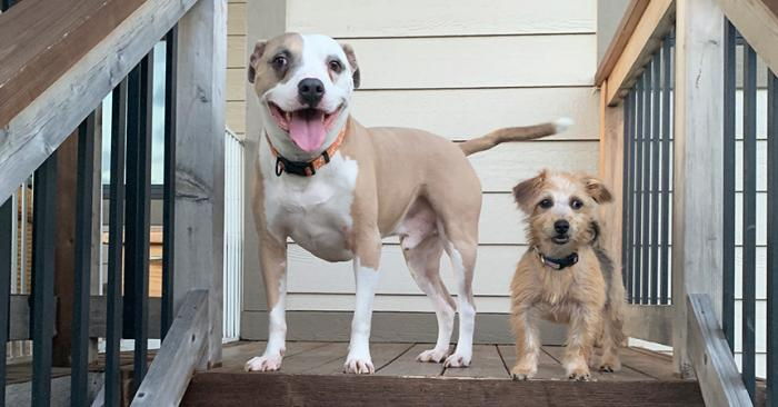 Bullseye the pit bull terrier and puppy Harley Quinn on some steps outside their house