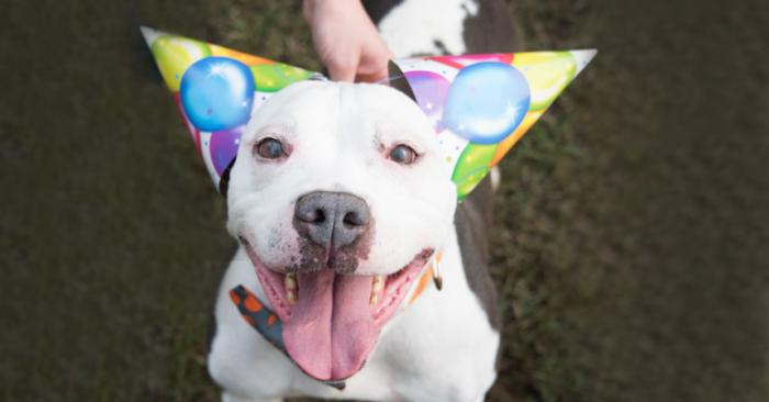 Pit Bull wearing birthday hats at a party
