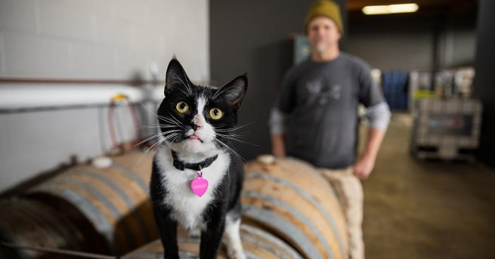Gimlet, a black-and-white tuxedo cat, who works at Beehive Distilling in Salt Lake City, Utah