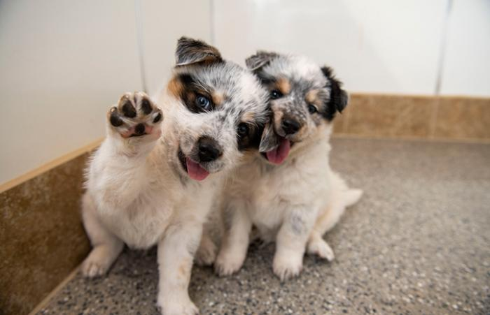 Two puppies next to one another, one with his paw up in the air and the other chewing the first one's ear