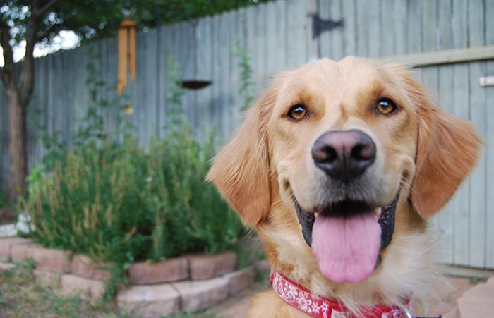 Ava the golden retriever smiling with tongue out in a yard with a fence behind her