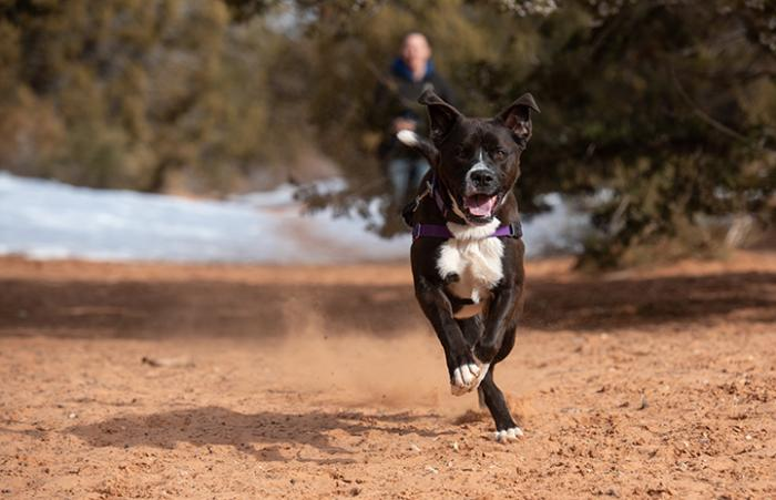 Manuel the black and white dog running from a person as part of search and rescue training