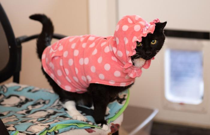 Hero the black and white cat wearing a pink with white polka dot outfit with hoodie