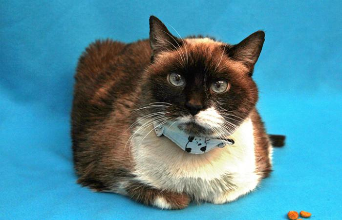 Valerie the Siamese cat lying on a blue background with a couple treats next to her