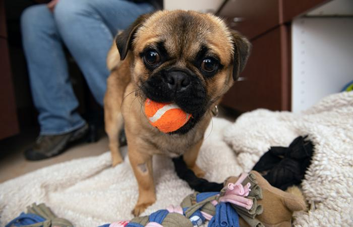 Salvador Dogi the pug holding an orange tennis ball in his mouth