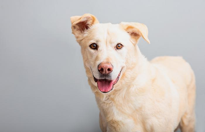Charlie, a smiling yellow Lab mix dog