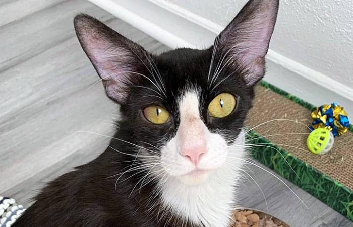Gizmo the black and white cat with large yellow eyes