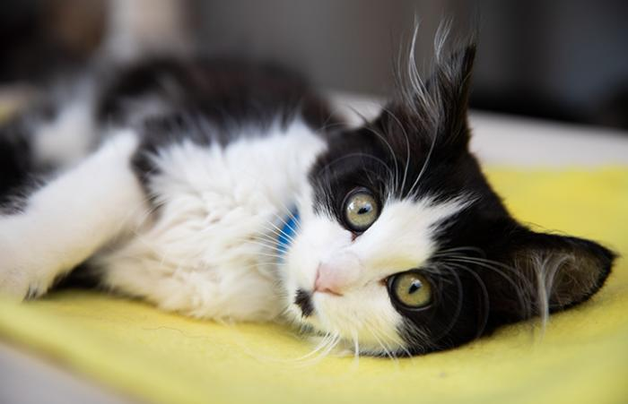 Black and white kitten lying on his side on a yellow mat