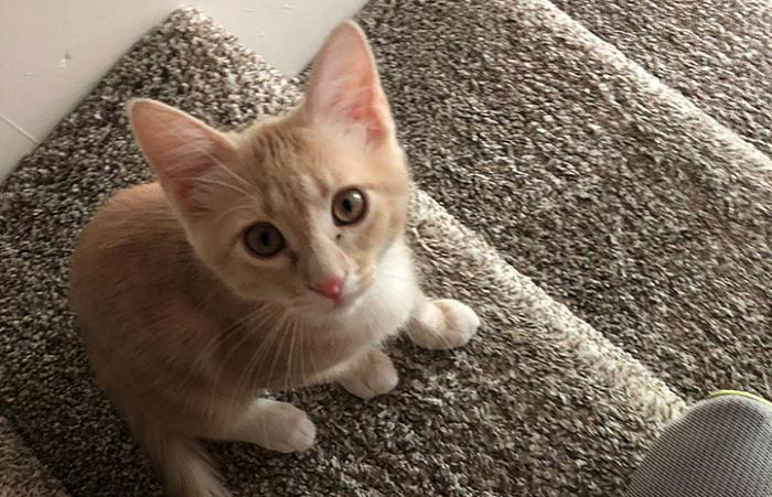 Cream tabby kitten standing on some carpeted stairs