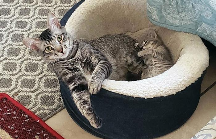 Gray tabby cat and her kitten lying together in a cat bed