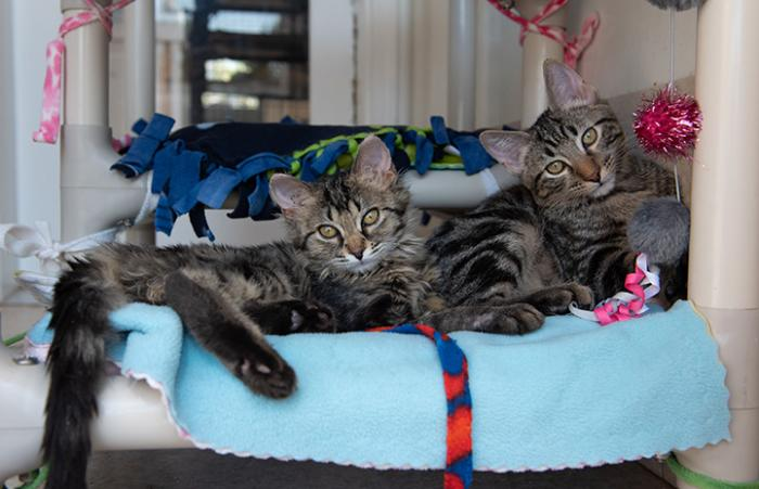 Pair of tabby kittens lying next to each other on a cat tree