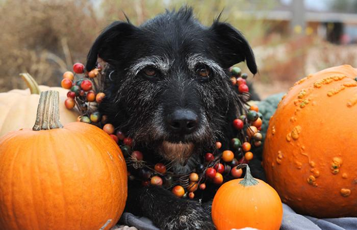 Fuzzy terrier mix dog with a dried berry necklace surrounded by pumpkins