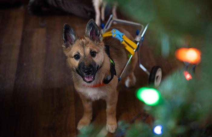 Spearmint Sally the puppy in her wheelchair by a Christmas tree with lights