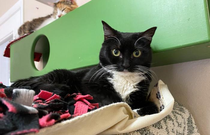 St. Clair the black and white cat in a bed with another cat behind her on a green wooden shelf