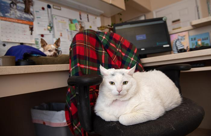 Monkey the cat lying on an office chair with a dog on the desk behind him