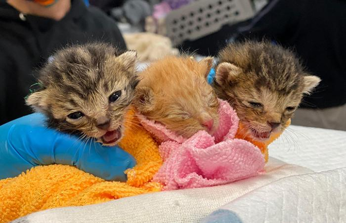 Trio of neonatal kittens being held in a gloved hand and blanket