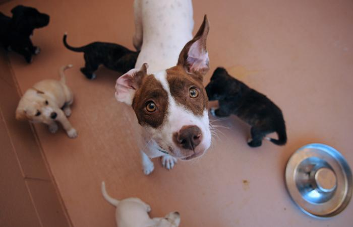 Ellie Marie the dog looking up at the camera, surrounded by her puppies