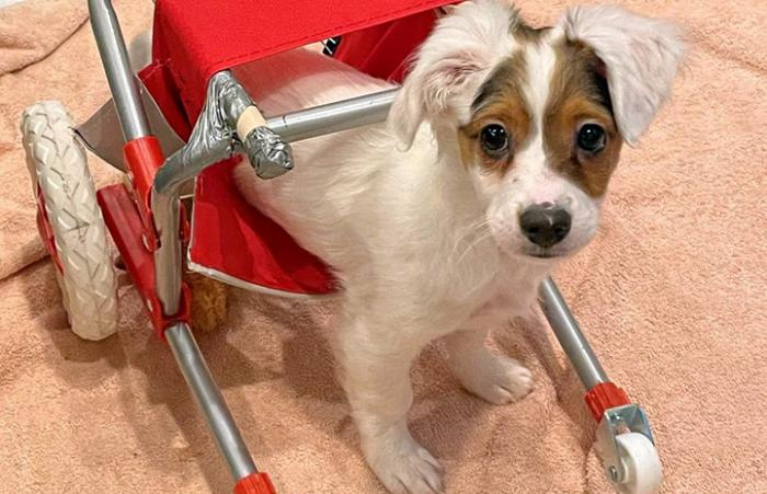 Chipper the puppy in a small wheelchair