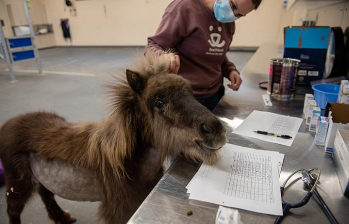 Daisy the mini horse looking up over a counter while a masked person stands behind her petting her head