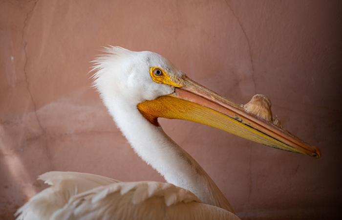 The face and top of body of the pelican