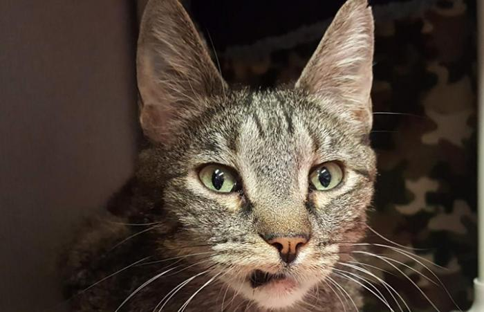The face of Angel the tabby cat