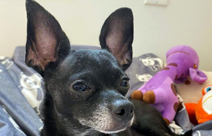 Chucky, the black and white Chihuahua, looking to the side with toys behind him