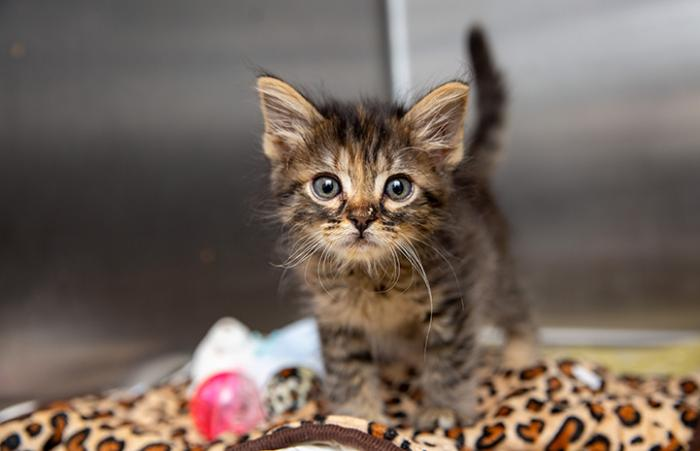 Brown tabby kitten with upright tail in a kennel on a leopard print blanket