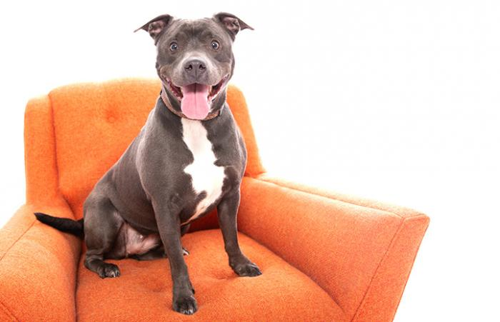 Smiling gray and white pit bull terrier sitting on an orange couch