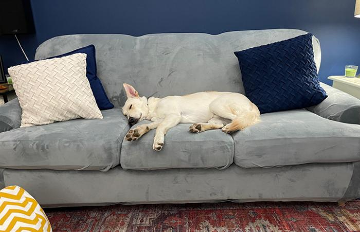Hanz the dog sleeping on a couch