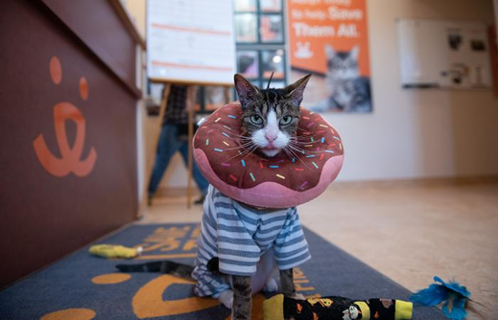 Pendleton the cat wearing protective pajamas and a donut around his neck