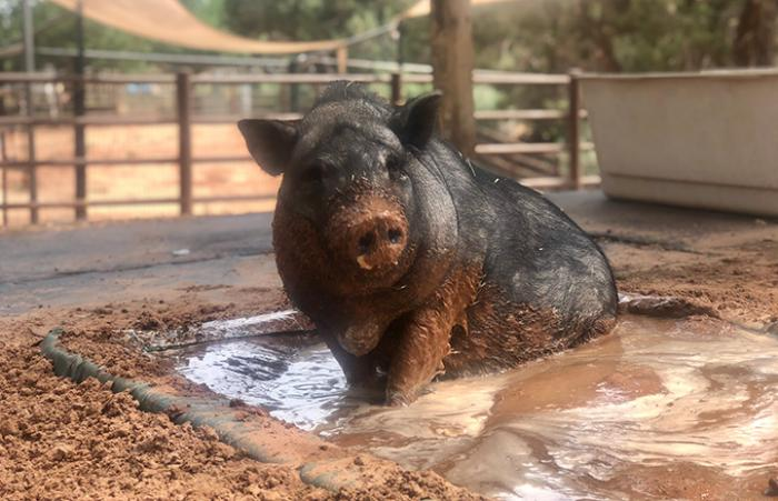 Mary Jane the pig in a puddle