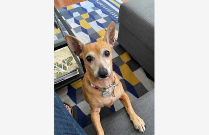 Stevie Nicks the Chihuahua mix sitting on a carpet next to a piece of furniture