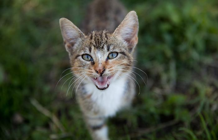 Meowing tabby and white kitten standing in some grass