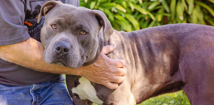 Gray and white pit bull type dog being hugged by a person
