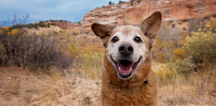 Smiling dog with fall foliage and red cliffs behind him