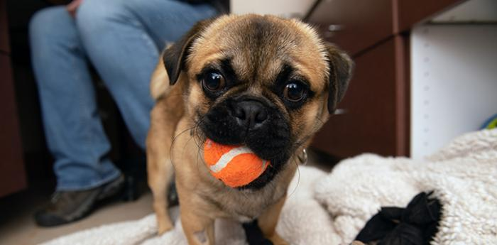 Pug holding an orange tennis ball in his mouth