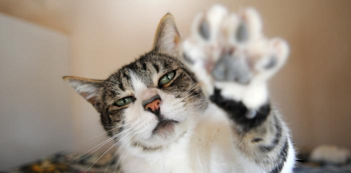 Tabby cat with raised paw