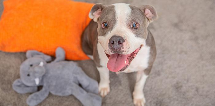 Gray and white pit bull terrier type dog with a stuffed elephant