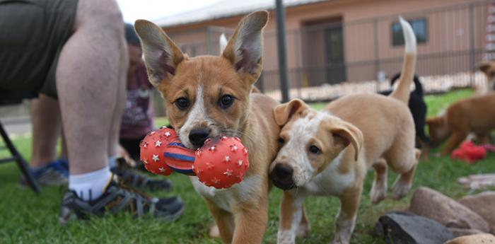 Two puppies playing with a toy