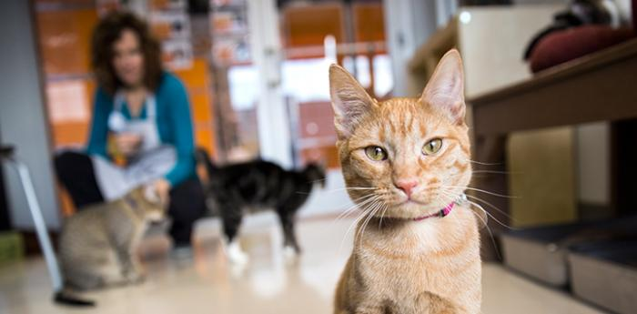 Fry Sauce the cat with a woman volunteer and other cats behind him